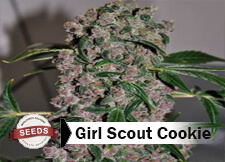 girl scout cookie Strain