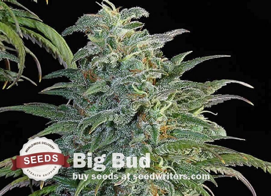 Big Bud Seeds - Cannabis