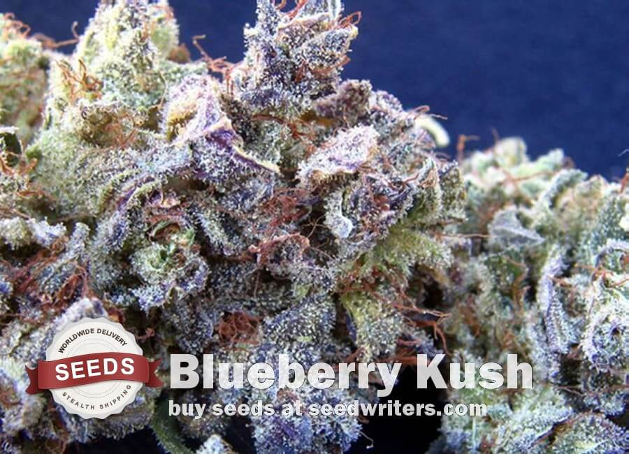 Blueberry Kush Seeds - Cannabis