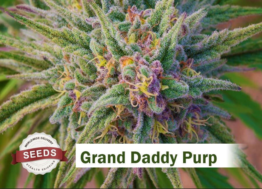 Grand Daddy Purple Seeds - Cannabis