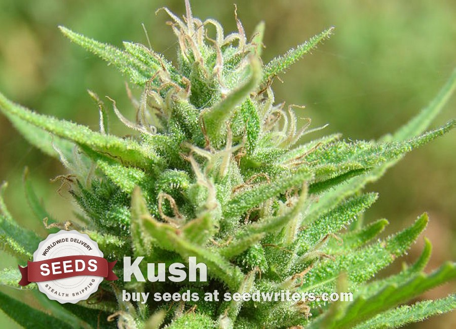 Kush Seeds - Cannabis