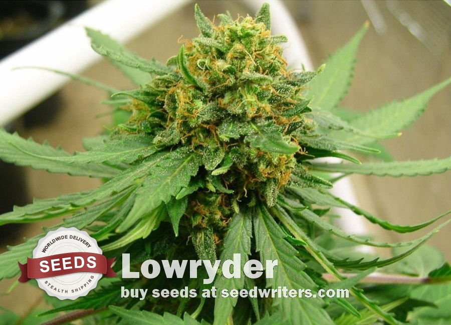 Lowryder Seeds - Cannabis