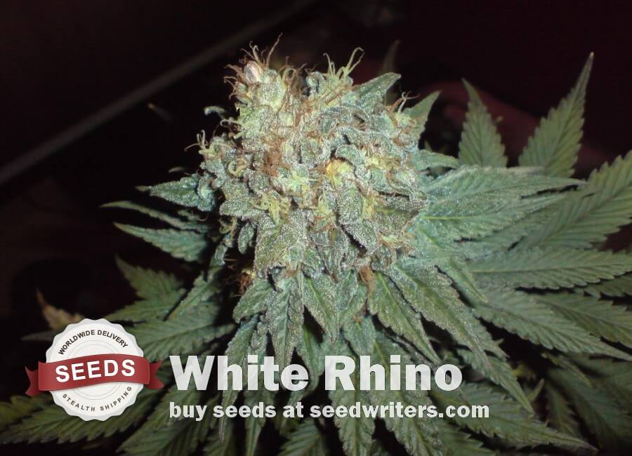 White Rhino Seeds - Cannabis
